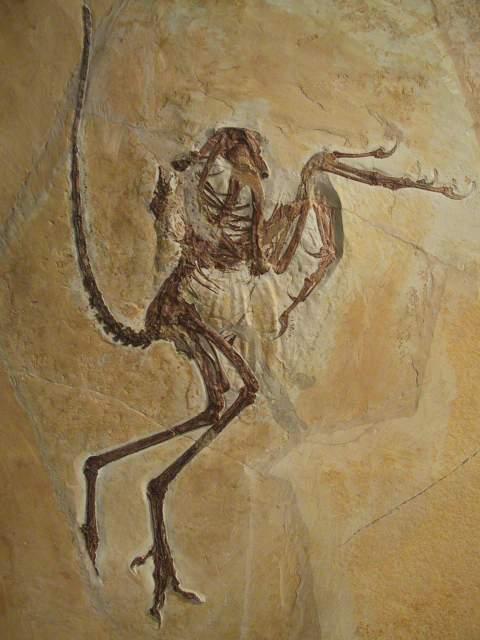 Archäopteryx - 6. Urvogel - Ausgestellt im Museum Solnhofen