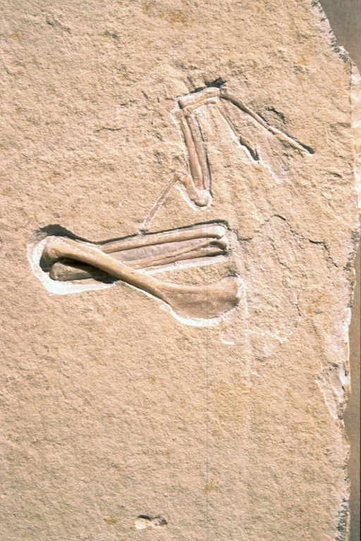 Archaeopteryx 9