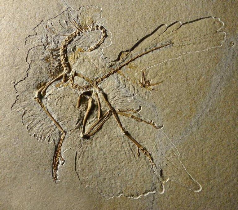 Archaeopteryx 11